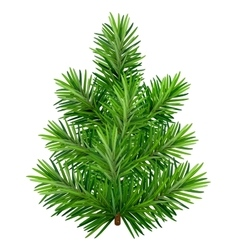 Green young Christmas tree isolated on white vector image vector image