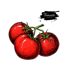 Tomato drawing isolated tomatoes on branch vector