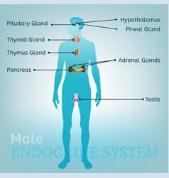 Endocrine system image vector