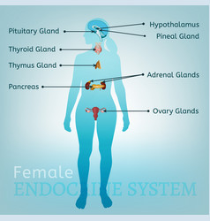Endocrine system woman vector