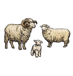 White sheep isolated vector