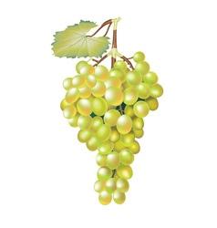 Green fresh grapes vector image