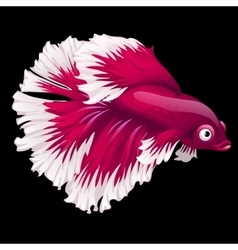 Red fish cockerel closeup on a black background vector