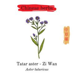 Medicinal herbs of china tatarinows aster vector