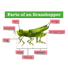 Diagram showing different parts of grasshopper vector image vector image