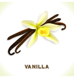 Vanilla pod isolated on white vector image