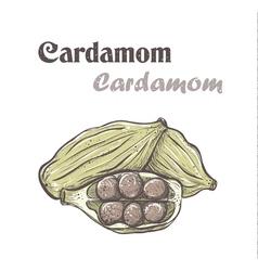 Cardamom Spice cardamom color skech Cardamom vector image vector image