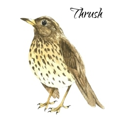 The thrush stand on white background vector image vector image