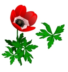 Blooming red tulipan and leaves isolated vector
