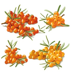 Set of ripe sandthorn vector