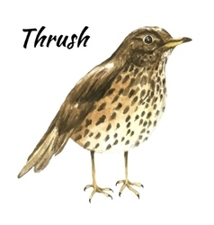 The thrush stand on white background vector