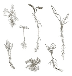 Set of line drawing herbs with roots vector