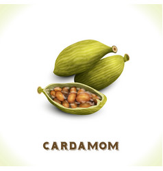 Cardamom isolated on white vector