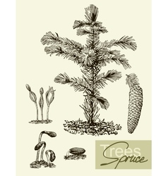 leaves flowers and fruits of the spruce vector image