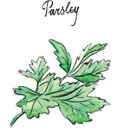 watercolor twig of parsley vector image vector image