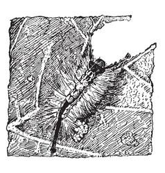 Tussock moth larva vintage vector