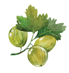 Watercolor gooseberry vector