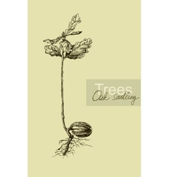 Graphic hand drawing of a seedling oak acorn vector