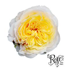 Garden yellow rose vector