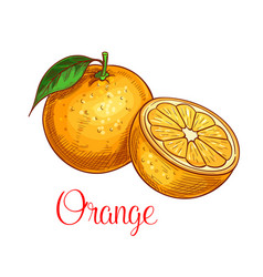 Orange sketch isolated fruit icon vector
