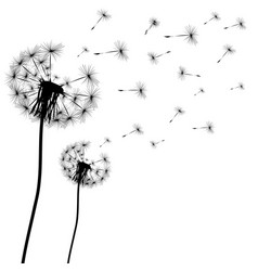silhouette of a dandelion vector image vector image