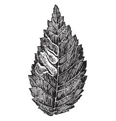Leaf miners galleries in elm vintage vector