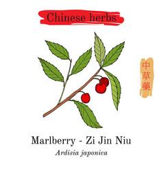medicinal herbs of china marlberry ardisia vector image