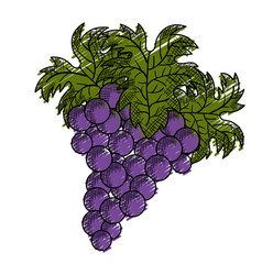 Wine grapes isolated icon vector
