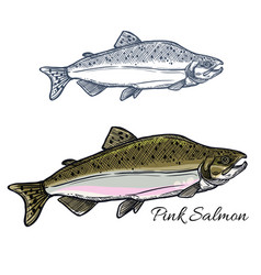 salmon fish sketch for seafood and fishing design vector image