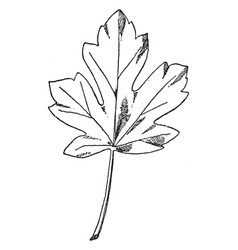 leaf of maple designs were often used on friezes vector image vector image