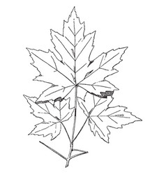 spray of sugar maple designs were often used on vector image vector image