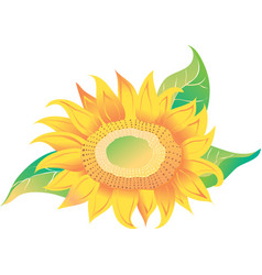 Yellow sunflower with green leaves vector