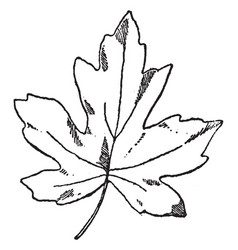 Leaf of oriental amber tree is a deciduous tree vector