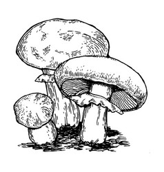 mushrooms engraving vector image vector image