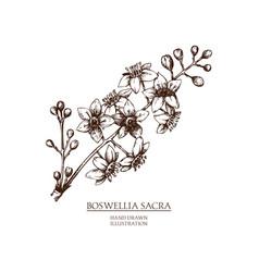 Boswellia vector