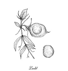 Hand drawn of fresh lentil pod on tree vector
