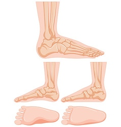 Diagram of human foot bone vector
