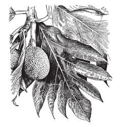 Artocarpus incisa vintage vector