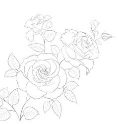 White rose isolated vector