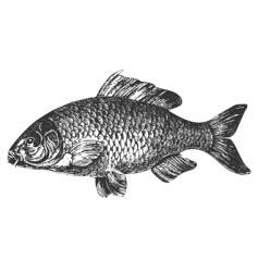 carp fish antique illustration vector image