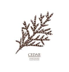 Cedar vector