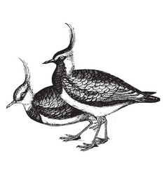 Lapwing vintage vector