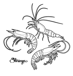Graphic shrimps collection vector