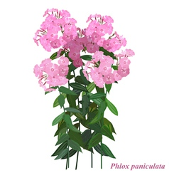 Autumn flower phlox paniculata vector