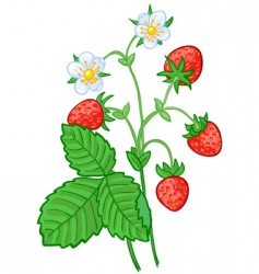 strawberry branch vector image