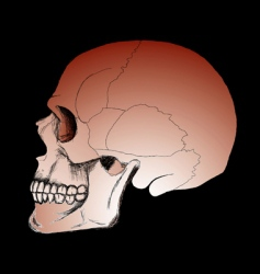 Skull on the black background vector