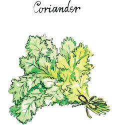 Watercolor coriander vector