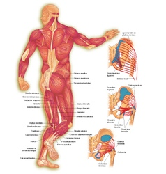 Male body posterior muscles vector