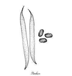 Hand drawn of ricebean pod and grains vector