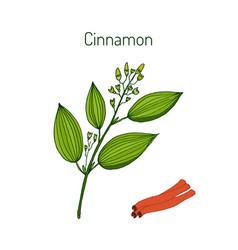 Cinnamomum verum spice vector